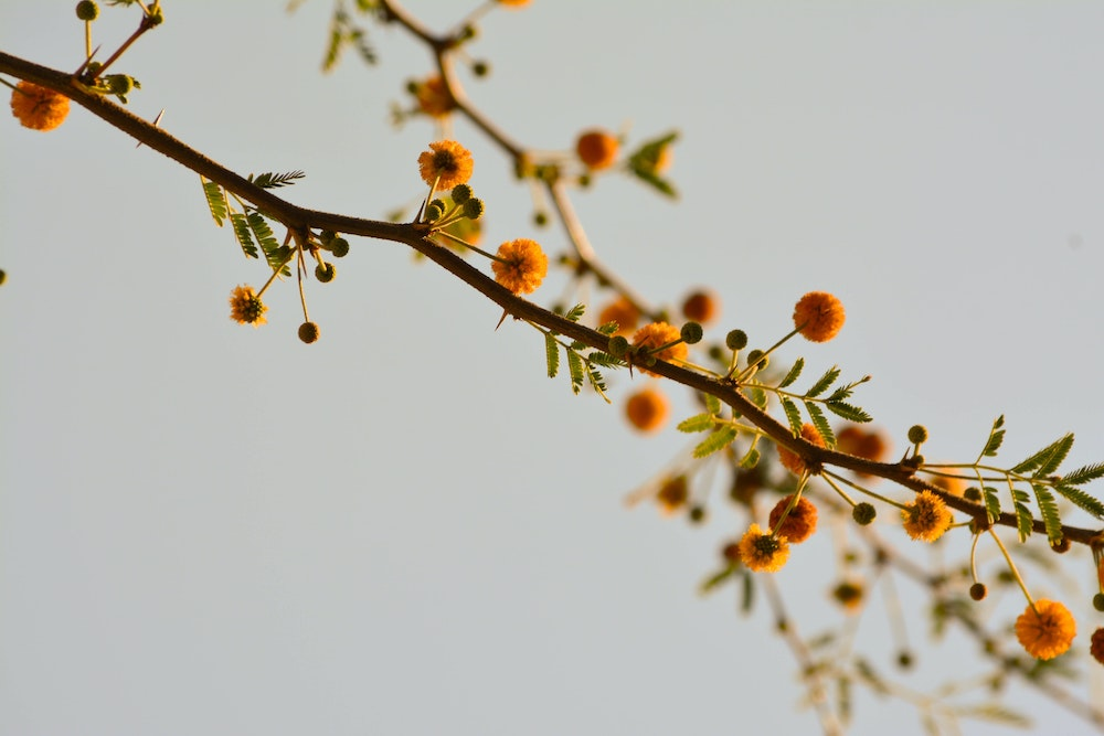blooming tree allergy triggers